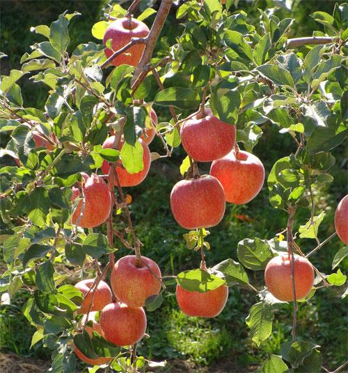 Chiêm ngưỡng mùa táo chín đỏ ở Hàn Quốc