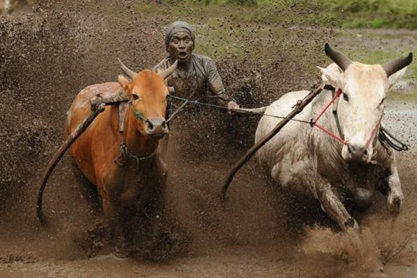 lễ hội đua bò