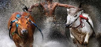 Kịch tính lễ hội đua bò kéo ở Indonesia