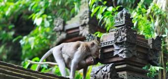Du lịch Bali ghé thăm rừng khỉ Ubud