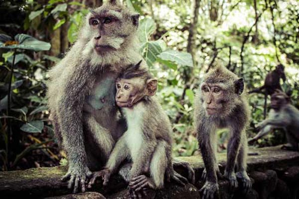 rừng khỉ ubud2