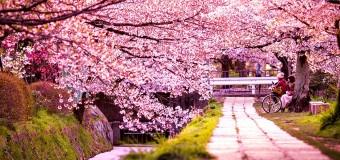 Tháng 3 say đắm mùa hoa anh đào Nhật Bản