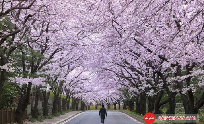 Con đường hoa anh đào thơ mộng