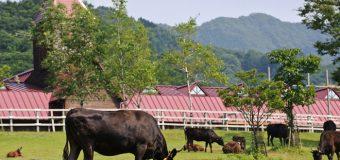 Khám phá cuộc sống vương giả của bò Kobe – Nhật Bản