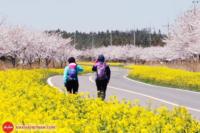 Đầu xuân ở Jeju rất đẹp