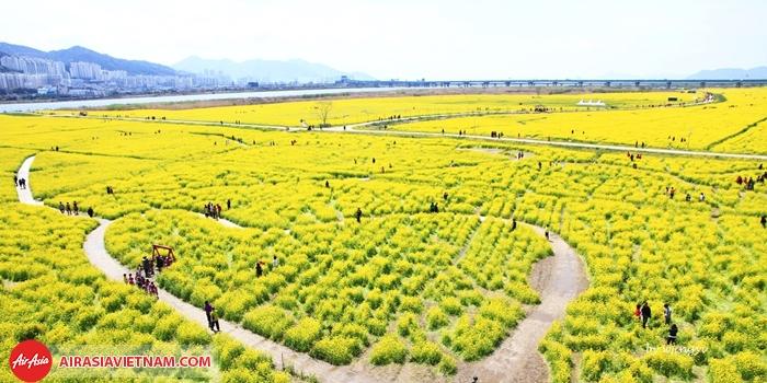 cánh đồng hoa cải bạt ngàn ở jeju
