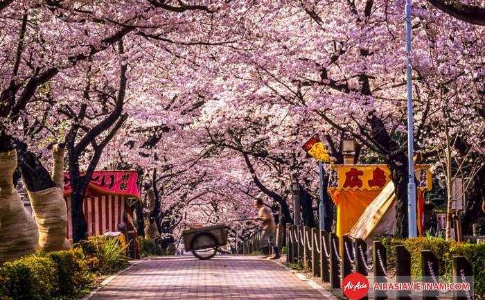 Mùa hoa anh đào là thời điểm lí tưởng để đến Nhật