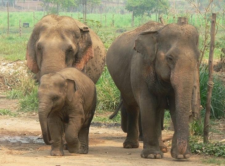 Những điều thú vị về loài voi – biểu tượng của đất nước Thái Lan